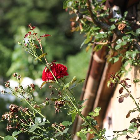 Rankende Rosen an einer Hausfassade