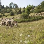 Schafe grasen auf einer Weide