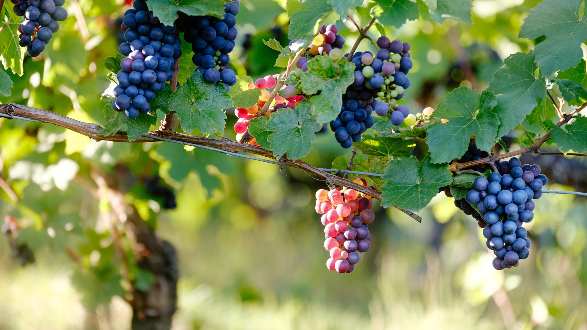 Blaue Weintrauben hängen an Rebstöcken