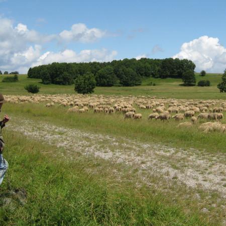 Eine Schafherde grast auf einer Wiese, links im Vordergrund der Schäfer, im Hintergrund ein kleines Wäldchen