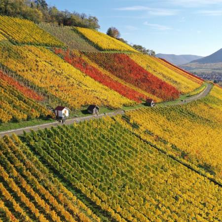 Weinberg im Herbst mit bunt gefärbten Reben