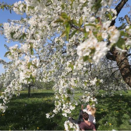 Obstblüte auf den Streuobstwiesen im Ermstal